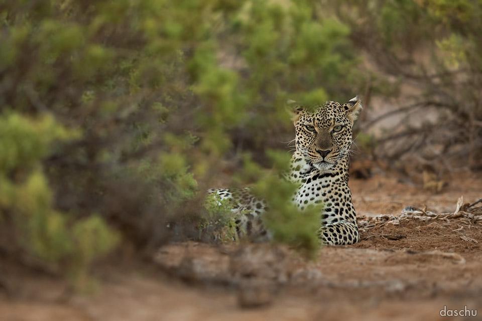 Chimpancé parasitado buscaleopardo