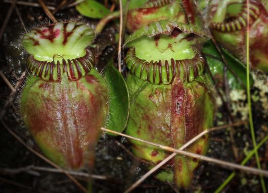 Así se volvieron carnívoras lasplantas
