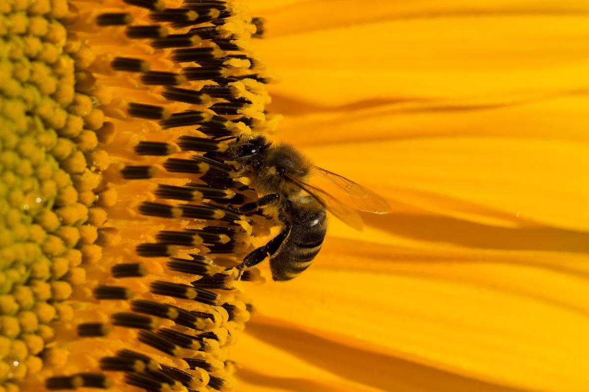 Un método detecta plaguicidas en el polen y su relación con la pérdida deabejas