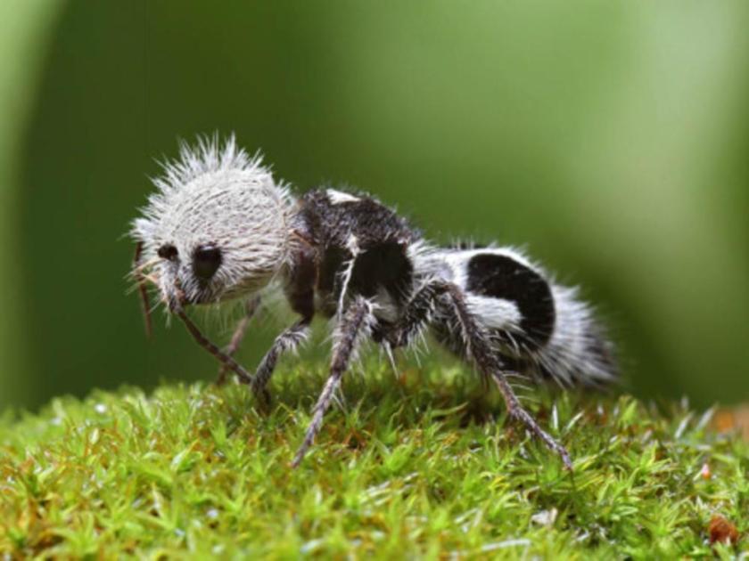 hormiga-panda