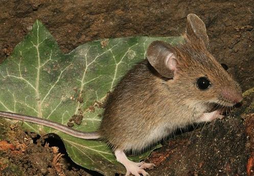Ratón de campo, Apodemus sylvaticus