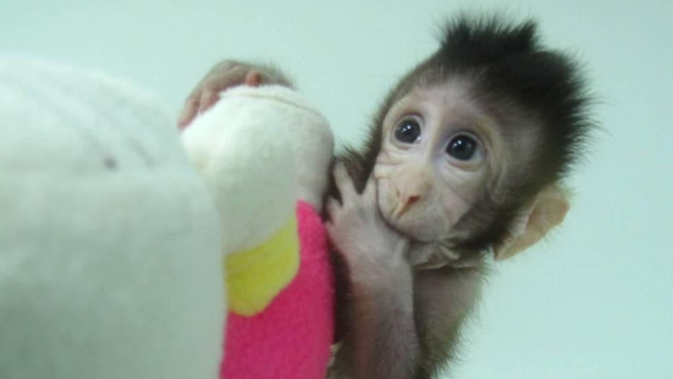 Nacen los primeros monos clonados a partir del método de la ovejaDolly