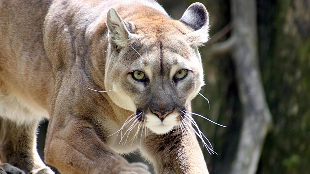 Declaran extinto al Puma del este deNorteamérica