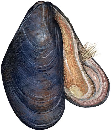 Imagen obtenida de: https://www.wpclipart.com/animals/aquatic/shell_and_shellfish/mussel/Blue_mussel__Mytilus_edulis.png.html