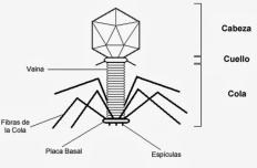 Estructura del fago T4