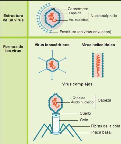 Estructura y forma virus