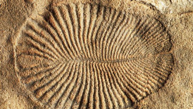 El misterio del Dickinsonia, el animal más antiguo del planeta, que vivió hace 558 millones deaños