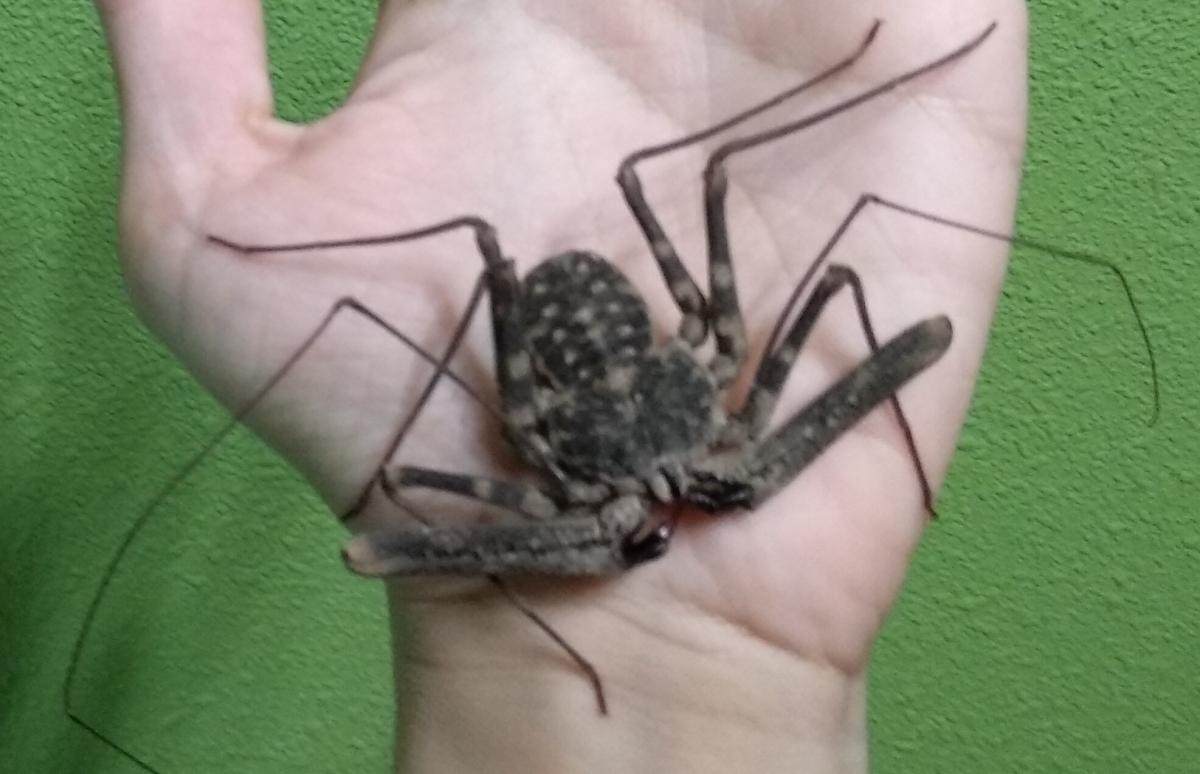 Araña escorpión