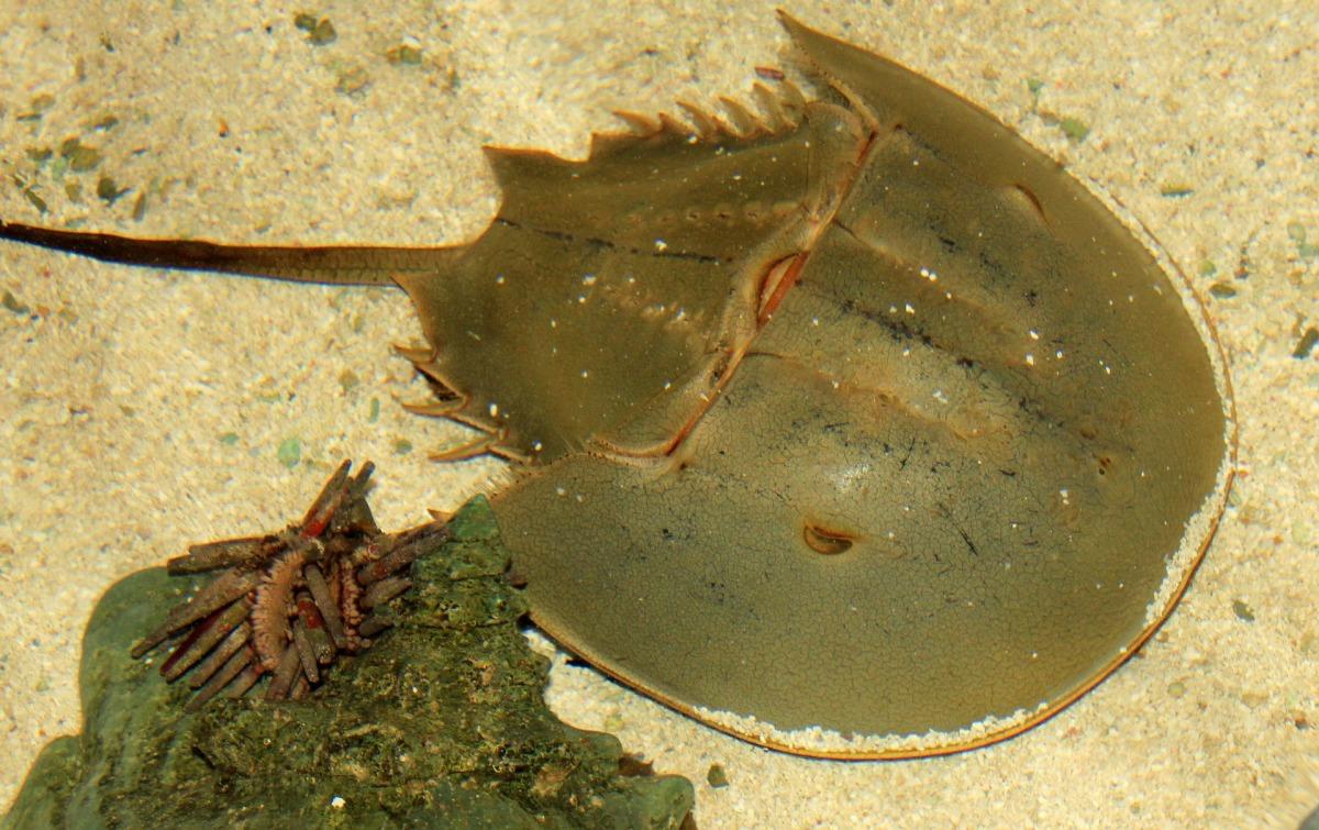 Cangrejos herradura, ¿arácnidos, xifosuros ocrustáceos?