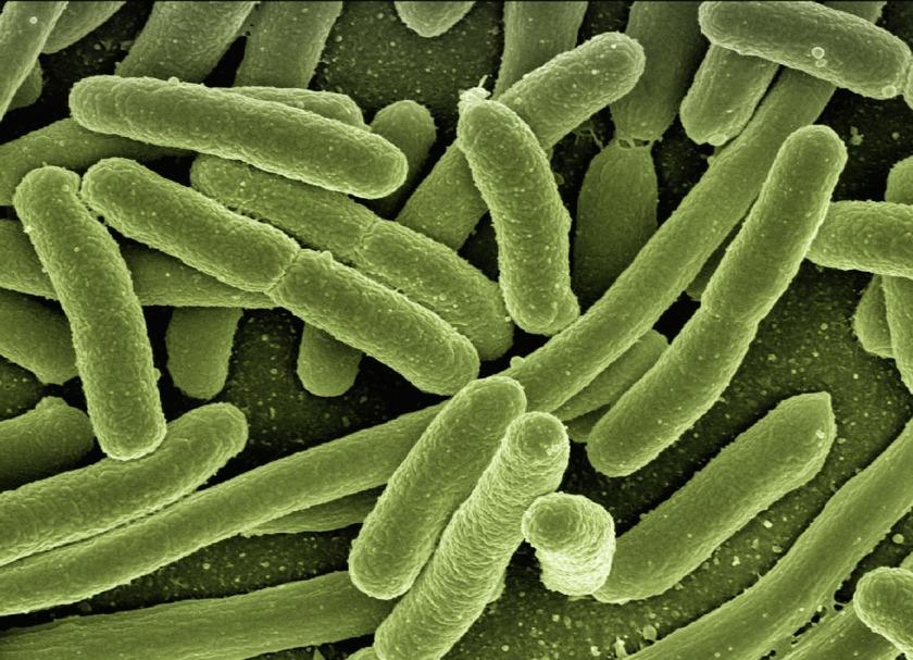 Escherichia coli. geralt. 2013