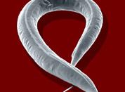 Caenorhabditis-elegans. Juergen Berger.