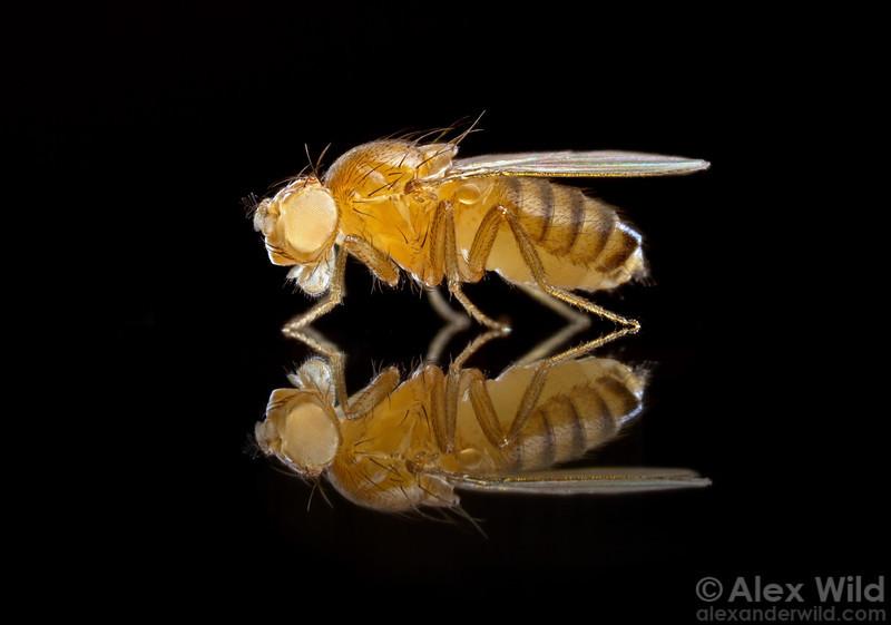 Los diferentes organismos modelo. Capítulo 7:insectos