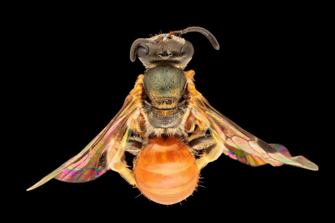 abejas-arcoiris2