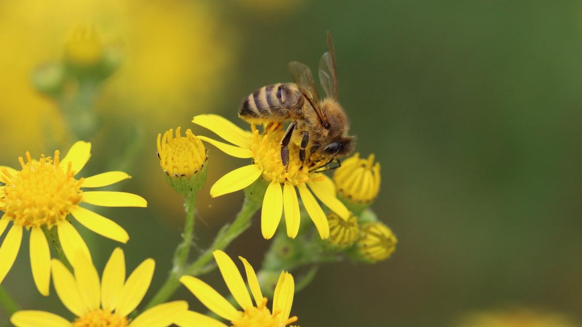 """""""El primer atlas de especies de abejas del mundo sale a la luz"""" –madrimasd"""