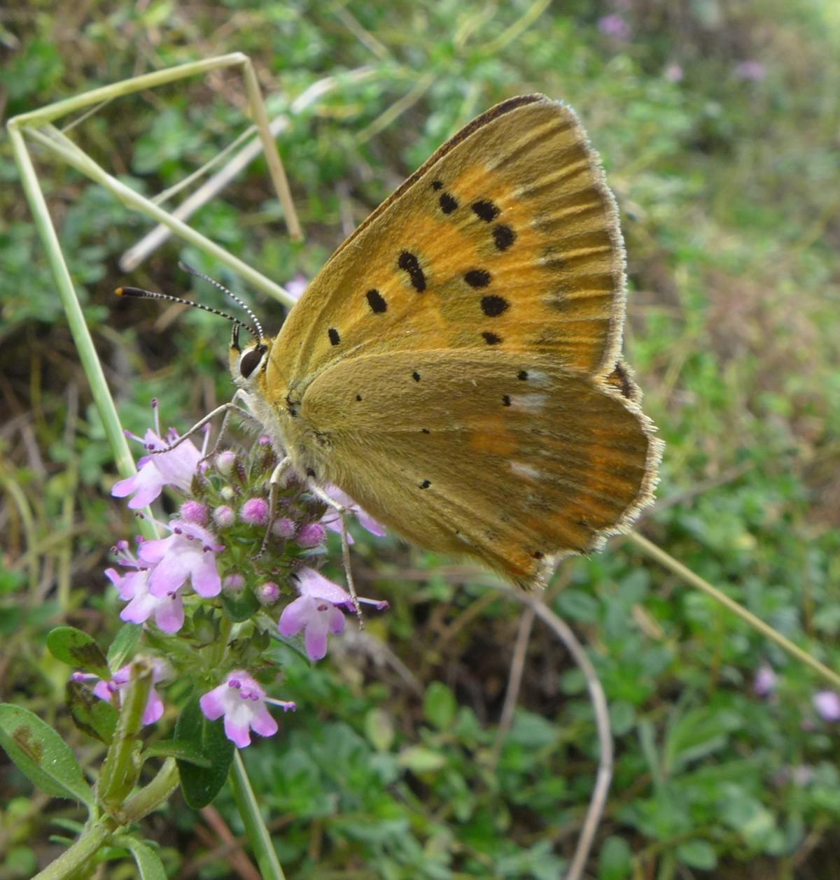 Estudian el efecto de los cambios del clima en la biología de las mariposas |MNCN-CSIC