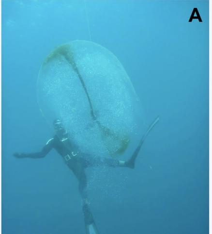 Resuelto el misterio de las esferas gelatinosas de las costas deNoruega